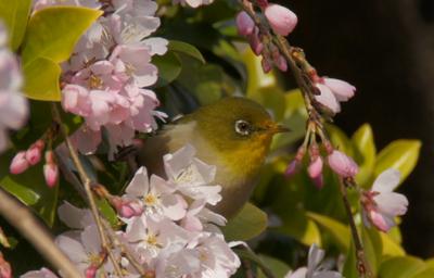 メジロとしだれ桜